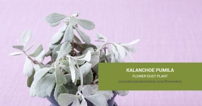 Kalanchoe pumila Flower Dust Plant care and propagation information