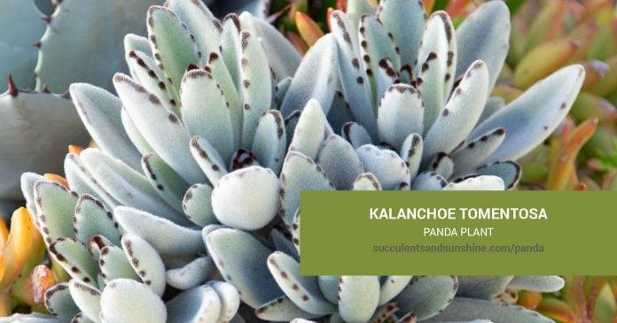 Kalanchoe tomentosa Panda Plant care and propagation information