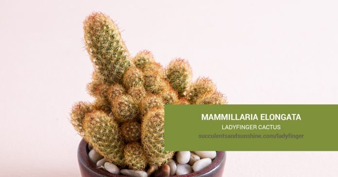 Mammillaria elongata Ladyfinger Cactus care and propagation information