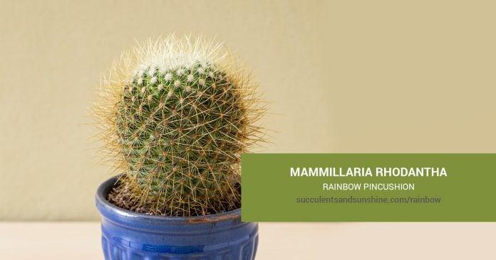 Mammillaria rhodantha Rainbow Pincushion care and propagation information