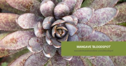 Mangave 'Bloodspot' care and propagation information