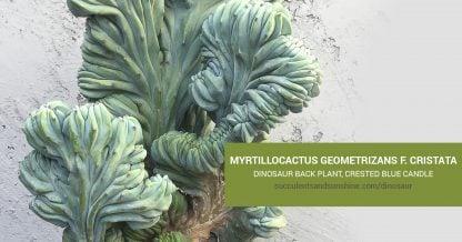Myrtillocactus care and propagation information