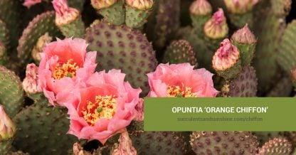 Opuntia 'Orange Chiffon' care and propagation information