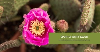 Opuntia 'Party Favor' care and propagation information