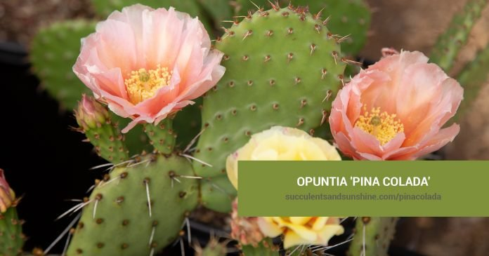 Opuntia 'Pina Colada' care and propagation information