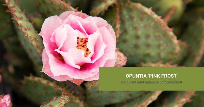 Opuntia 'Pink Frost' care and propagation information