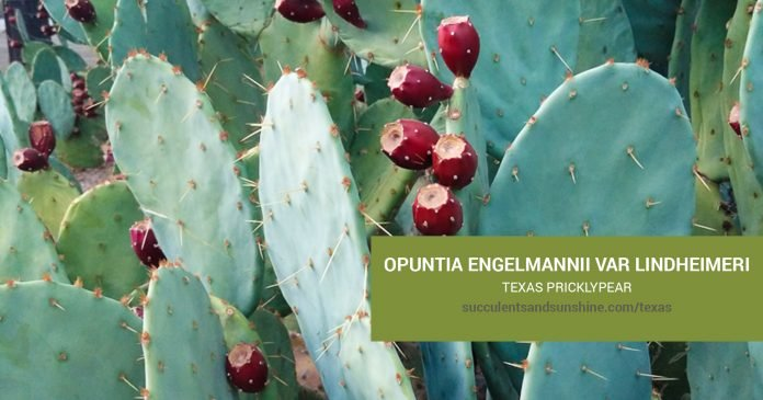 Opuntia engelmannii care and propagation information