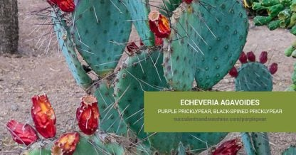 Opuntia macrocentra Black-spined Pricklypear care and propagation information
