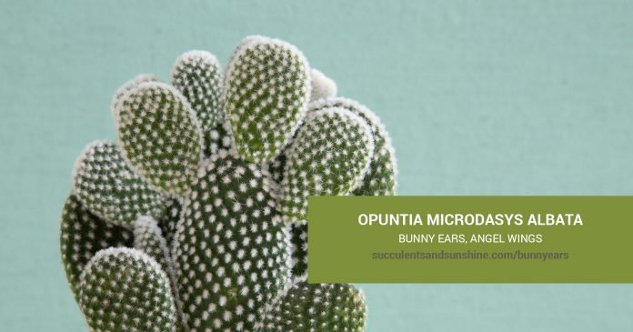 Opuntia microdasys albata Bunny Ears care and propagation information