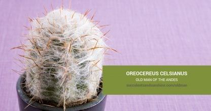 Oreocereus celsianus Old Man of the Andes care and propagation information