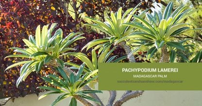 Pachypodium lamerei Madagascar Palm care and propagation information