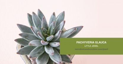 Pachyveria glauca Little Jewel care and propagation information