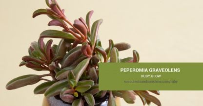 Peperomia graveolens Ruby Glow care and propagation information