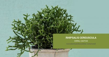 Rhipsalis cereuscula Coral Cactus care and propagation information
