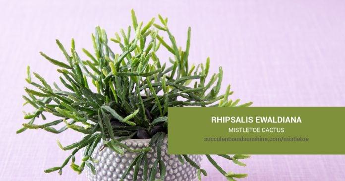 Rhipsalis ewaldiana Mistletoe Cactus care and propagation information