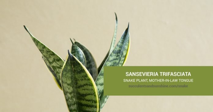 Sansevieria Snake Plant care and propagation information