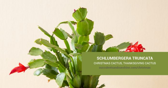 Schlumbergera Christmas Cactus care and propagation information