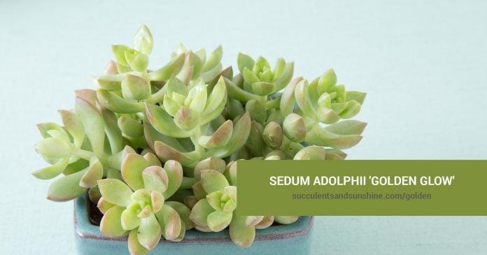 Sedum adolphii 'Golden Glow' care and propagation information