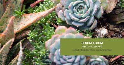 Sedum album White Stonecrop care and propagation information