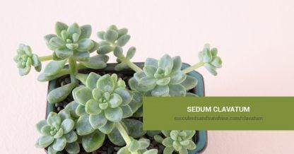 Sedum clavatum care and propagation information