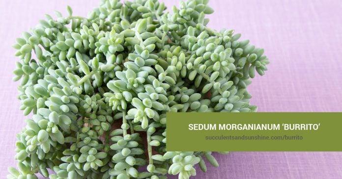 Sedum morganianum Burrito care and propagation information