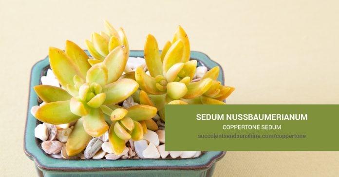 Sedum nussbaumerianum Coppertone Sedum care and propagation information