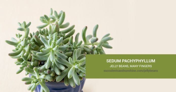 Sedum pachyphyllum Jelly Beans care and propagation information