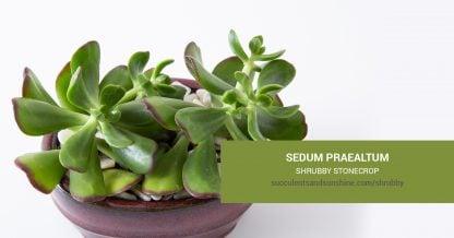 Sedum praealtum Shrubby Stonecrop care and propagation information