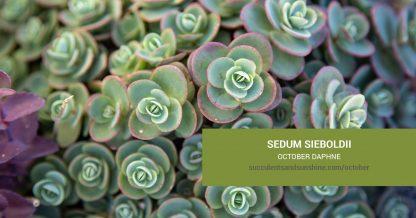 Sedum sieboldii October Daphne care and propagation information