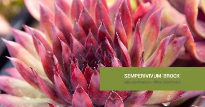 Semperivivum 'Brock' care and propagation information