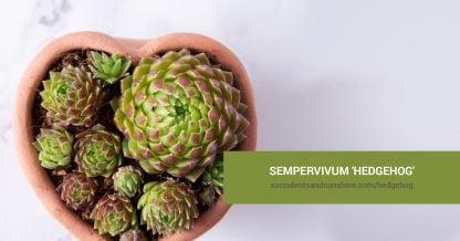 Sempervivum 'Hedgehog' care and propagation information