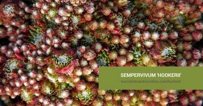 Sempervivum 'Hookerii' care and propagation information