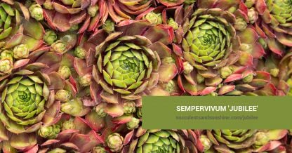 Sempervivum 'Jubilee' care and propagation information