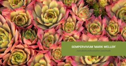 Sempervivum 'Mark Weller' care and propagation information