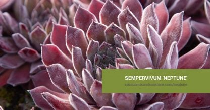 Sempervivum 'Neptune' care and propagation information