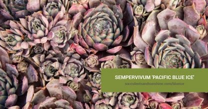 Sempervivum 'Pacific Blue Ice' care and propagation information