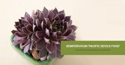 Sempervivum 'Pacific Devil's Food' care and propagation information