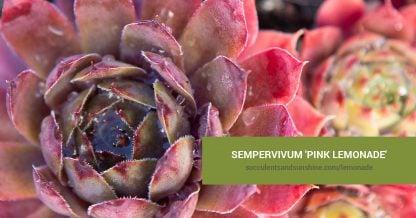 Sempervivum 'Pink Lemonade' care and propagation information