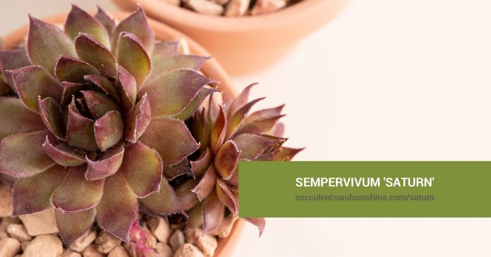 Sempervivum 'Saturn' care and propagation information