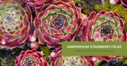 Sempervivum 'Strawberry Fields' care and propagation information