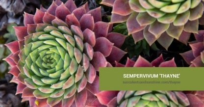 Sempervivum 'Thayne' care and propagation information