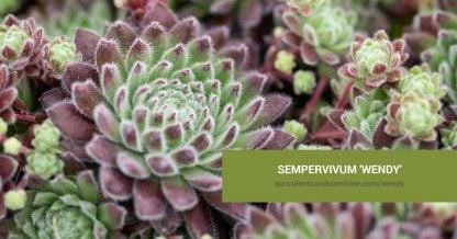 Sempervivum 'Wendy' care and propagation information