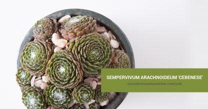 Sempervivum arachnoideum 'Cebenese' care and propagation information