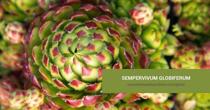 Sempervivum globiferum care and propagation information