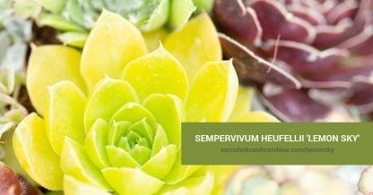 Sempervivum heufellii 'Lemon Sky' care and propagation information