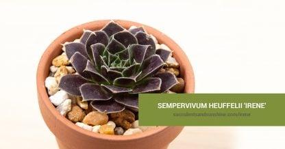 Sempervivum heuffelii 'Irene' care and propagation information