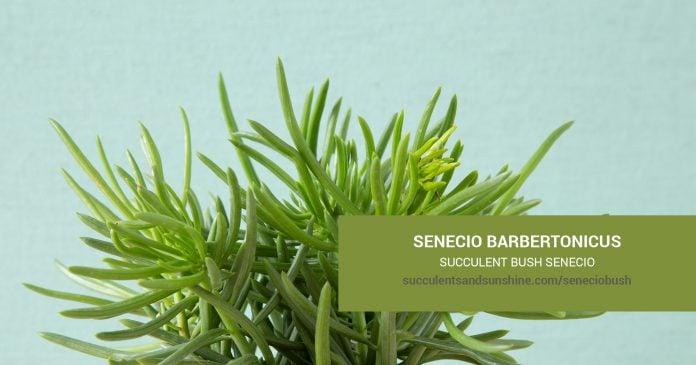 Senecio barbertonicus Succulent Bush Scare and propagation information