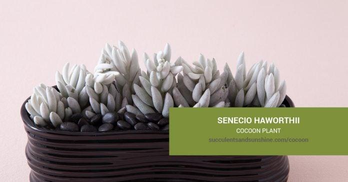 Senecio haworthii Cocoon Plant care and propagation information