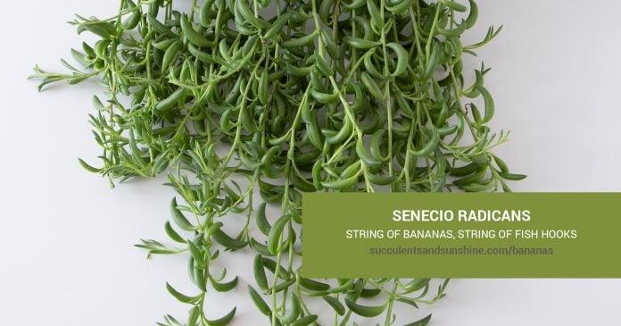 Senecio radicans String of Bananas care and propagation information