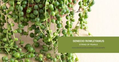 Senecio rowleyanus String of Pearls care and propagation information